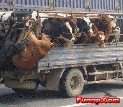 1752749710-funny_truck_over_loaded_with_cows.jpg