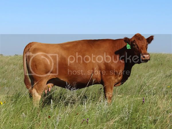 C342Red-Fall-Cow_edited-1.jpg